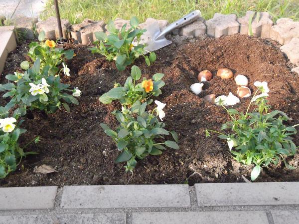 20121107門花壇よく咲くすみれ