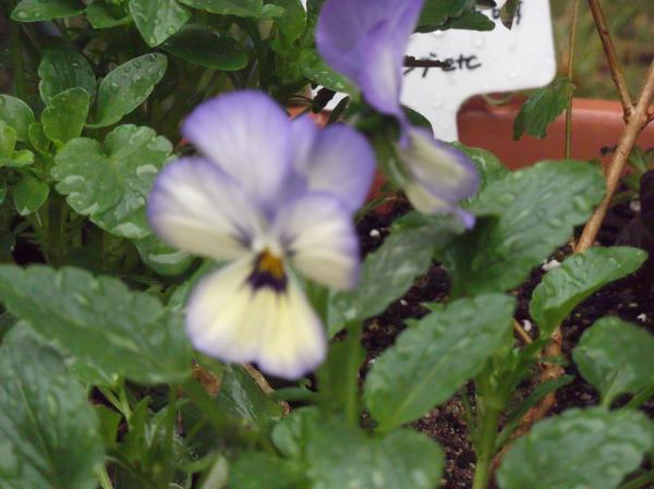 20121111よく咲くスミレ