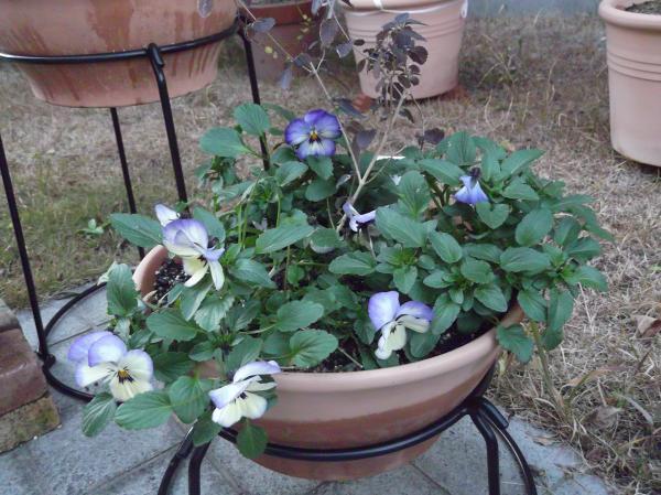20121231コバノランタナとよく咲くスミレ