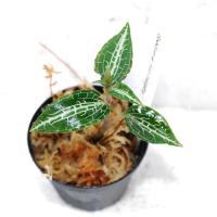 reticulata2.jpg