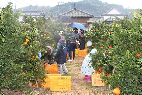 2012収穫祭収穫体験