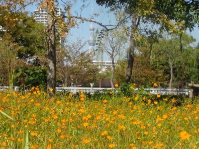 木場公園のコスモスと東京スカイツリー