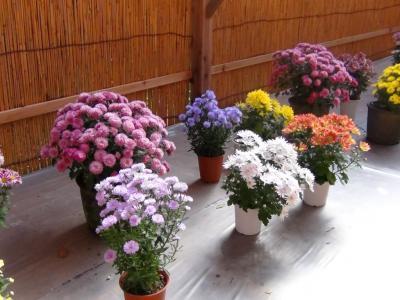 笠間稲荷神社の菊祭り