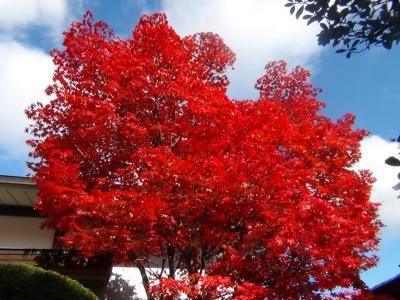 逍遥園の紅葉④