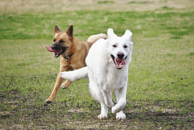 ホワイトシェパード テーオとタランティーノ走る