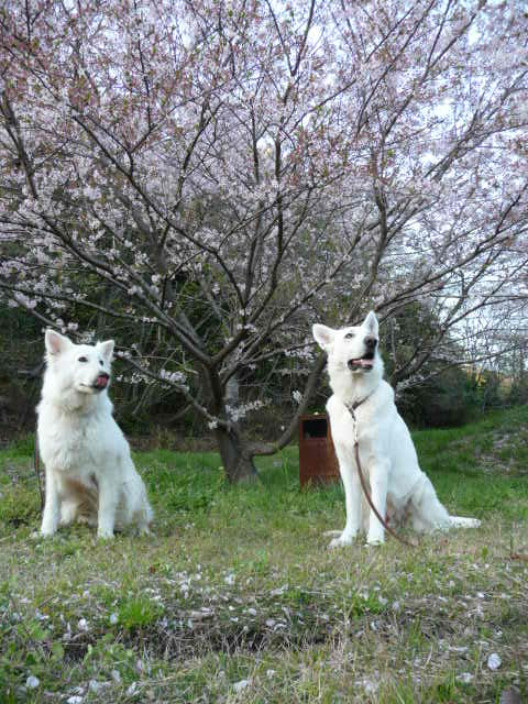 ホワイトスイスシェパード リサちゃんと桜を愛でるテーオの図
