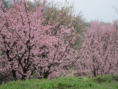 1204福島の桜