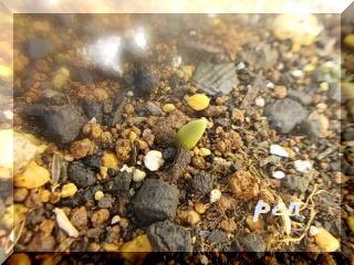 チューリップ芽