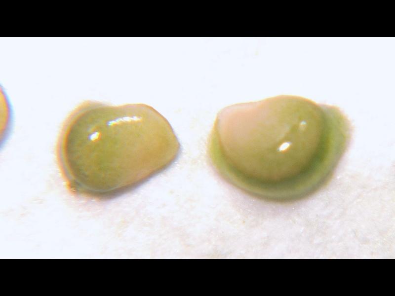 アメリカイヌホオズキ 種子