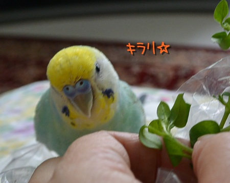 ハコベ2キラリ☆