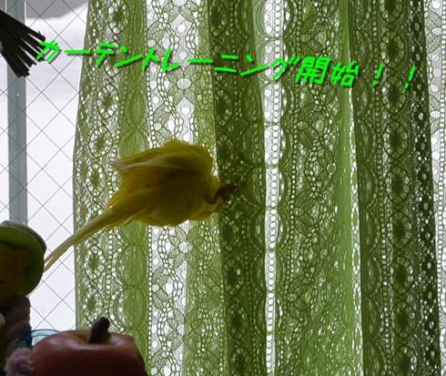 カーテンぽぴ1-1