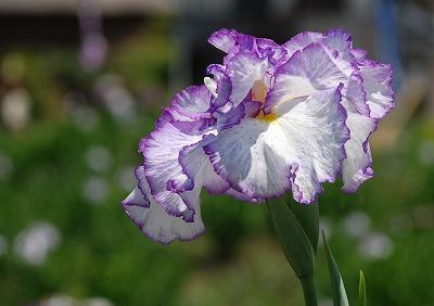 花しょうぶ 1