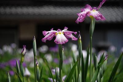 花しょうぶ 2