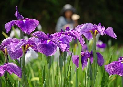 花しょうぶ 8