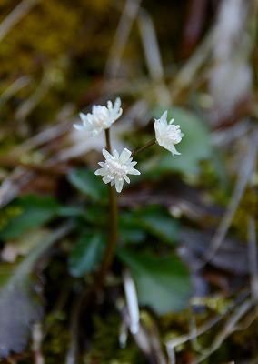 早春の花11