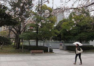 桜開花11