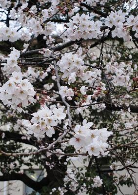 桜開花 7