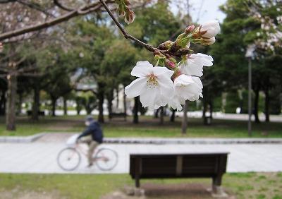 桜開花 8