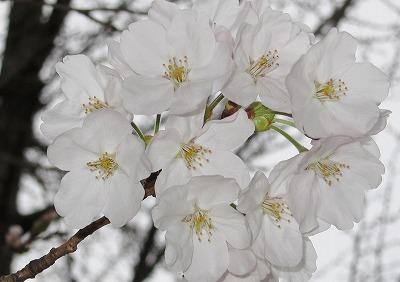 桜開花 4
