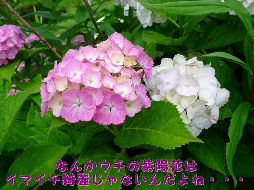 うちの紫陽花がんばれ