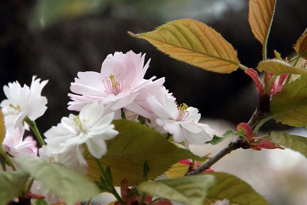 奈良の八重桜2