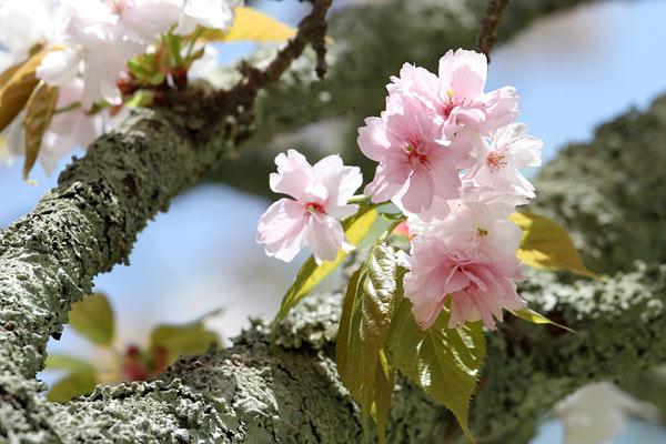 奈良の八重桜1