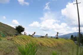 稲刈り~1