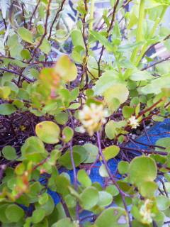 ワイプラ花