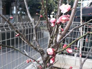 2013庭梅の開花