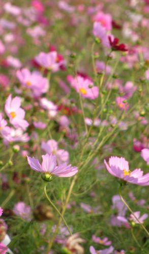 2012-1007_kosumosu02.jpg