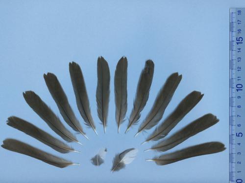 クロツグミ尾羽