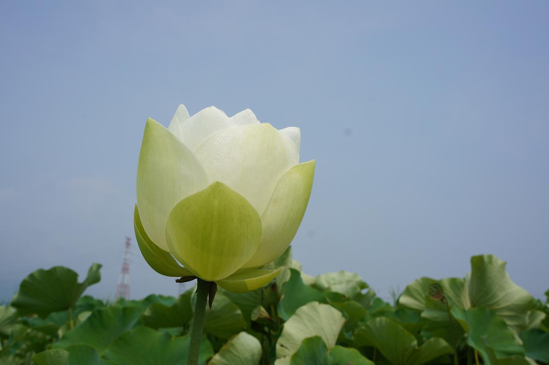 hasu-aisai-DSC04709s.jpg