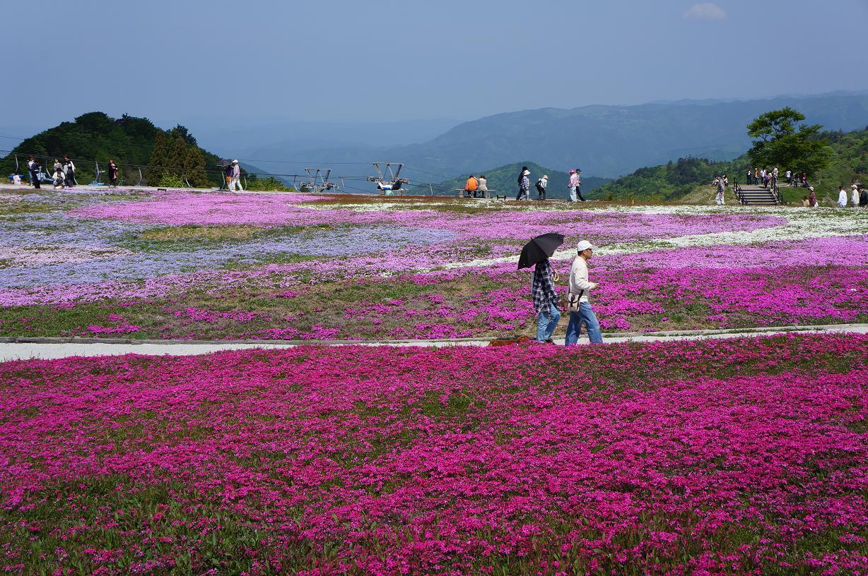 shibazakura-DSC04101s.jpg