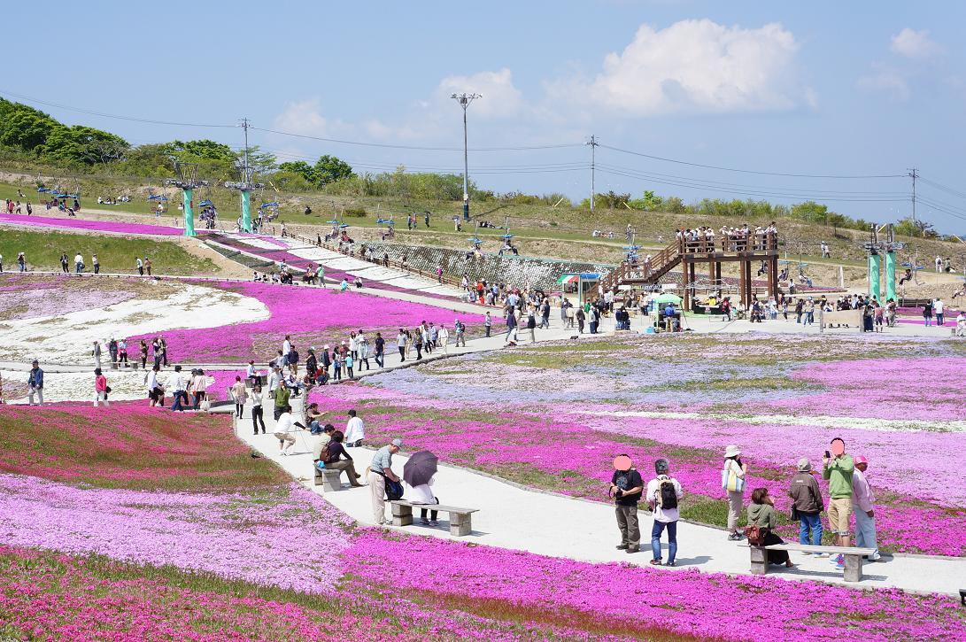 shibazakura-DSC04112s.jpg