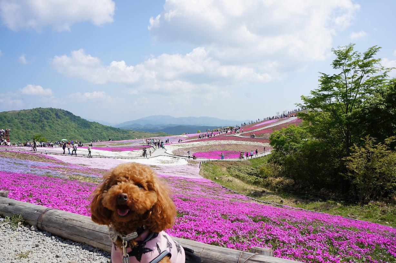 shibazakura-Link-DSC04092s.jpg