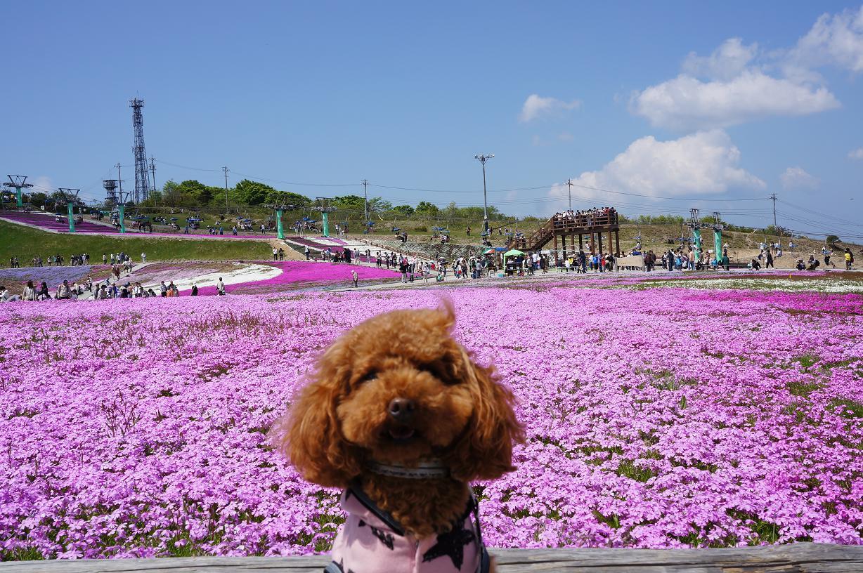 shibazakura-Link-DSC04116s.jpg