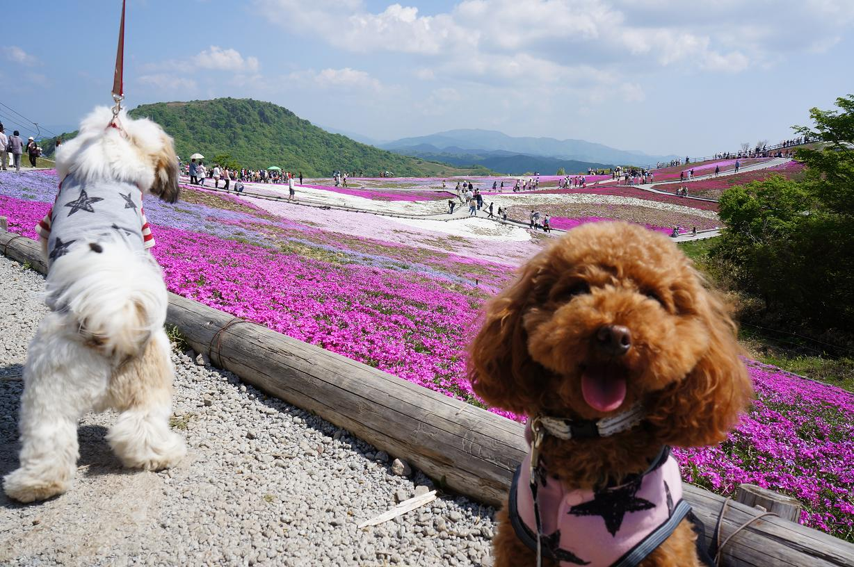 shibazakura-Link-Merry-DSC04093s.jpg