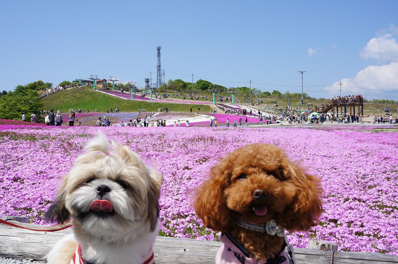 shibazakura-Link-Merry-DSC04117s.jpg