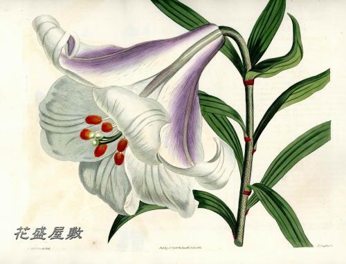 Curtis 1813-1591 Lilium japonicaM