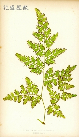 1857, Lygodium Japonicum, E J Lowe Ferns British And Exotic