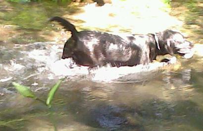 川で泳ぐ犬