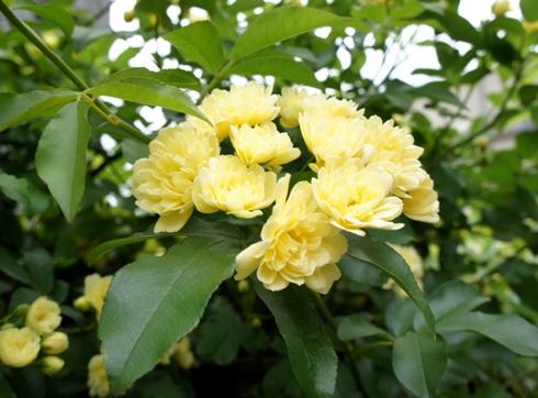 15)もっこうバラが咲いて
