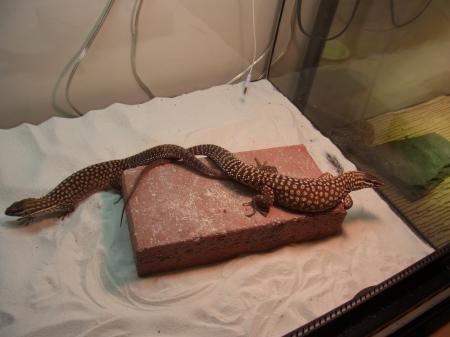ridged tail 20121010