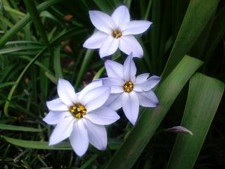 花ハナニラ