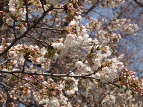 20120408八幡お花見⑫