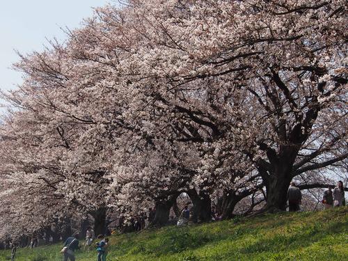 20120408八幡お花見⑮