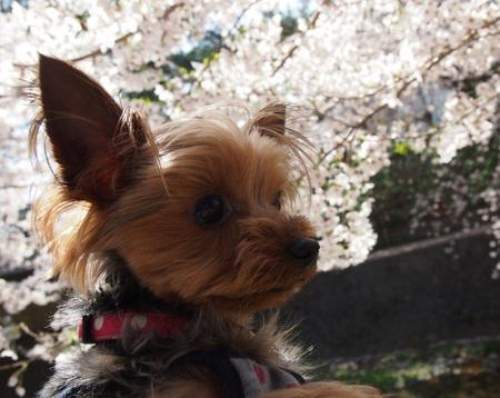 20120412夙川⑭