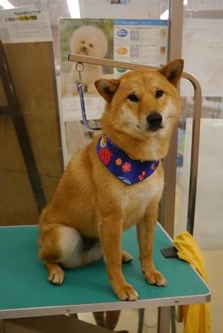 2012.7.25柴犬