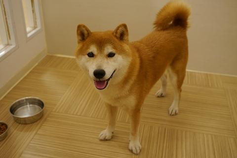 柴犬2012.7.30