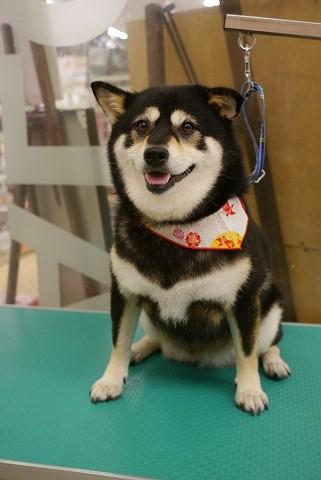 2012.8.17柴犬